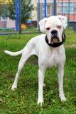 Perro del boxeador con los ojos de diverso color en un parque Imágenes de archivo libres de regalías