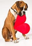 Perro del boxeador con un corazón Imagen de archivo libre de regalías