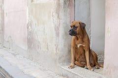 Perro del boxeador de Brown que se sienta en entrada con su lengua que se pega hacia fuera, mirando en la distancia imagen de archivo