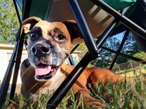 Perro del boxeador debajo de la silla Fotografía de archivo