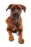 Perro del boxeador delante del fondo blanco imagen de archivo