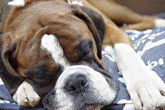 Perro del boxeador el dormir Fotografía de archivo