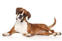 Perro del boxeador en el fondo blanco Fotografía de archivo