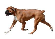 Perro del boxeador en el movimiento aislado Imagen de archivo