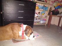 Perro del boxeador en humor el dormir foto de archivo libre de regalías