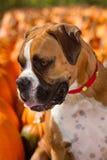 Perro del boxeador en la corrección de la calabaza Imagenes de archivo