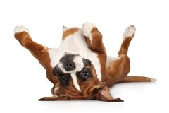 Perro del boxeador que descansa sobre el fondo blanco Foto de archivo libre de regalías