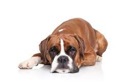 Perro del boxeador que miente en el fondo blanco Imágenes de archivo libres de regalías