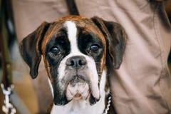 Perro del boxeador que se sienta cerca de dueño Foto de archivo
