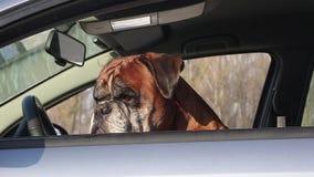 Perro del boxeador que se sienta en el asiento de conductor almacen de video