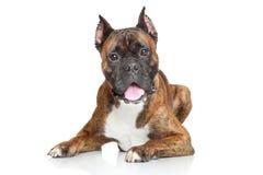 Perro del boxeador sobre el fondo blanco imagenes de archivo