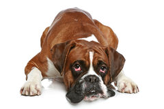 Perro del boxeador triste en un fondo blanco Foto de archivo