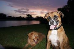 perro del boxeador y juego del golden retriever en yarda Imagenes de archivo