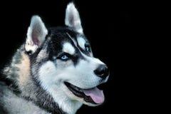 Perro del bozal Imágenes de archivo libres de regalías