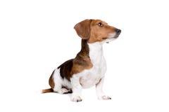 Perro del caballo pío del perro basset Foto de archivo libre de regalías