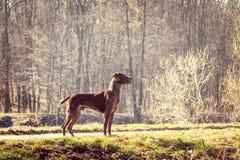 Perro del cazador Fotos de archivo libres de regalías