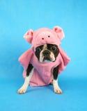 Perro del cerdo Imagen de archivo