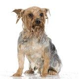 Perro del champú Foto de archivo libre de regalías