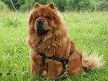 Perro del chow-chow fotografía de archivo libre de regalías