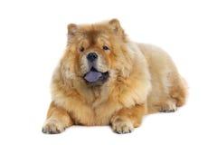 Perro del chow-chow Imagen de archivo
