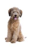 Perro del chucho de Poddle fotografía de archivo