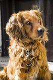 Perro del cocker Imágenes de archivo libres de regalías