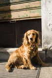 Perro del cocker Fotos de archivo libres de regalías