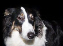 Perro del collie Foto de archivo libre de regalías
