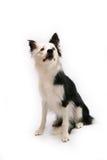 Perro del collie de frontera en blanco imágenes de archivo libres de regalías