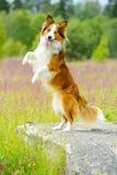 Perro del collie de frontera que se alza para arriba en la piedra Imagen de archivo