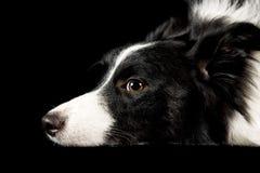 Perro del collie de Shetland Fotos de archivo