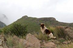 Perro del collie en las montañas brumosas de Drakensberg Fotografía de archivo