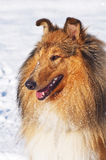 Perro del collie en nieve Fotografía de archivo