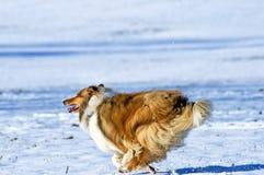 Perro del collie en nieve Imágenes de archivo libres de regalías
