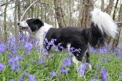Perro del collie que explora en un campo de la campanilla Imágenes de archivo libres de regalías