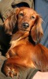 Perro del color ardiente Fotografía de archivo libre de regalías