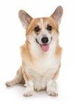 Perro del Corgi imagen de archivo