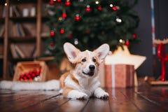 Perro del Corgi con el feliz árbol de navidad Foto de archivo libre de regalías