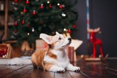 Perro del Corgi con el feliz árbol de navidad Imagenes de archivo