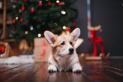 Perro del Corgi con el feliz árbol de navidad fotos de archivo