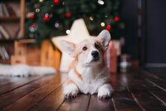 Perro del Corgi con el feliz árbol de navidad fotos de archivo libres de regalías