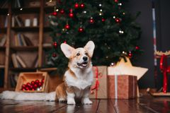 Perro del Corgi con el feliz árbol de navidad fotografía de archivo