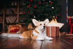 Perro del Corgi con el feliz árbol de navidad Imagen de archivo libre de regalías