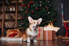 Perro del Corgi con el feliz árbol de navidad Fotografía de archivo libre de regalías
