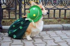 Perro del Corgi en la celebración del día del ` s de St Patrick en Moscú Fotos de archivo