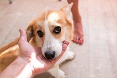 Perro del Corgi del perrito del pelirrojo fotografía de archivo libre de regalías