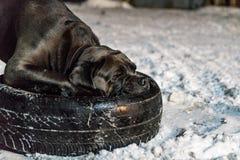 Perro del corso del bastón que tira del neumático fotografía de archivo libre de regalías