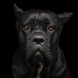 Perro del corso del bastón Fotos de archivo