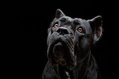 Perro del corso del bastón Imágenes de archivo libres de regalías