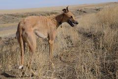 Perro del coyote hacia fuera que caza Fotografía de archivo